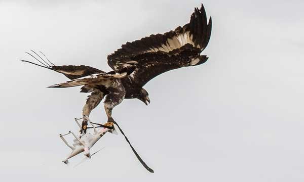Des aigles déployés dans la lutte anti-drones